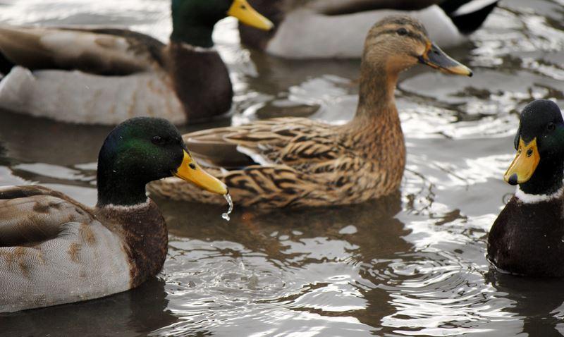 Ενημέρωση για την γρίπη των πτηνών